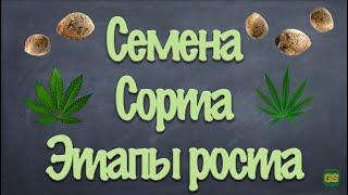 GrowShock - Семена, сорта, этапы роста каннабиса, конопли