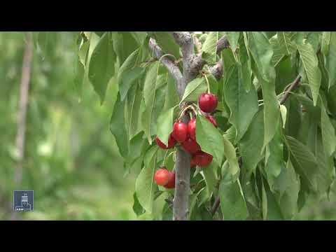 Ինտենսիվ այգիներում բերքատվությունն աճում է մինչև 6 անգամ