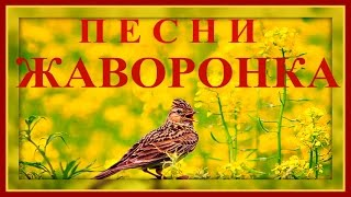 Песня Полевого Жаворонка на Рассвете
