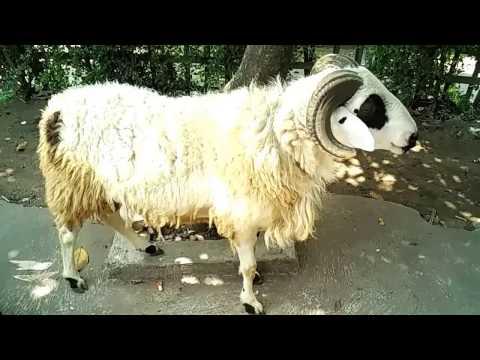 Video Cara Ternak Domba Garut -  Kontes Kambing dan Domba Garut