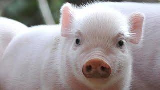 Почему свиньи так любят грязь
