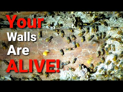 MASSIVE Yellow Jackets INFESTATION in House Basement wall! Wasp Nest Removal!