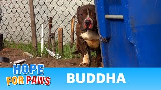 Rescuing a Pit Bull who just wanted to be loved. A MUST SEE Hope For Paws video!