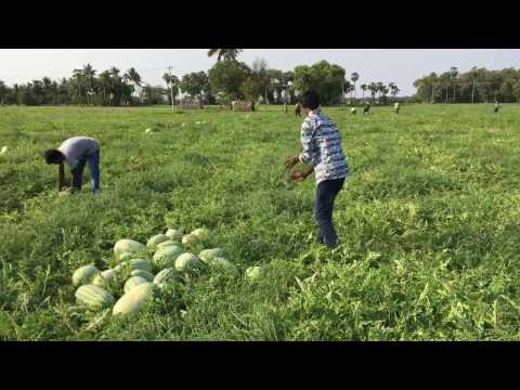 Harvesting Watermelons in Our Village