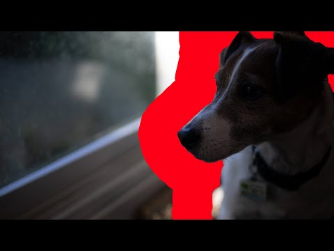 Owning a Jack russell terrier (what it's really like)