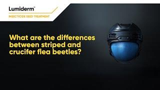 Differences between flea beetle feeding activity