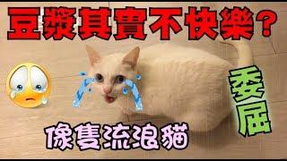 【豆漿 - SoybeanMilk】豆漿心累了?  認為自己過得像流浪貓