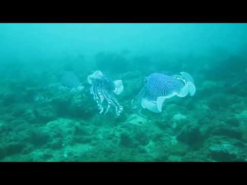 Scuba diving: amazing Cuttlefish in Negombo, Sri Lanka - Taprobane Divers