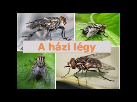 Szilva parazita