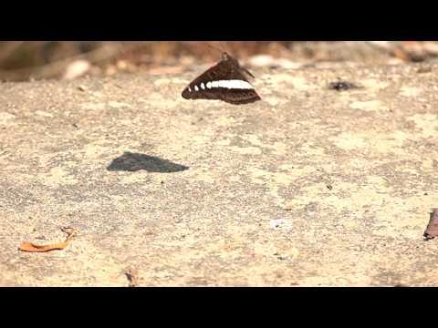アオオビイチモンジの飛翔 Sumalia daraxa in flight