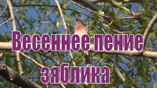 Пение зяблика весной. Зяблик поёт весной. Птицы Сибири.