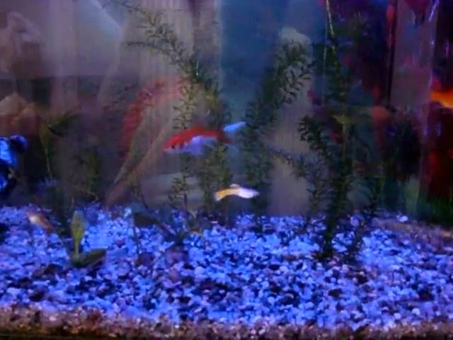mi acuario comunitario guppys cometas tetra rossys coridoras