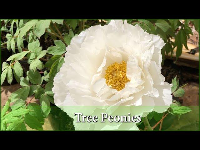 İngilizce'de peonies Video Telaffuz