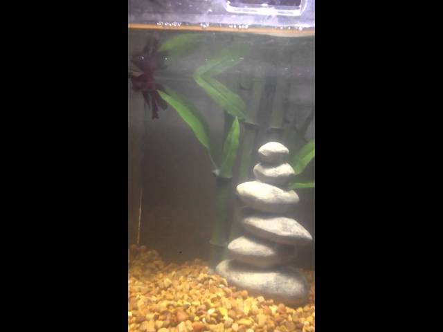 My new betta fish tank with decorations