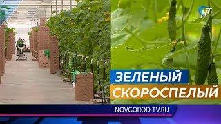 В теплицах под Великим Новгородом поспели первые огурцы