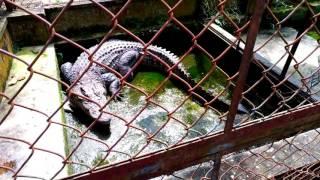 Water change and feeding my crocodile (Thay nước và cho cá sấu ăn)