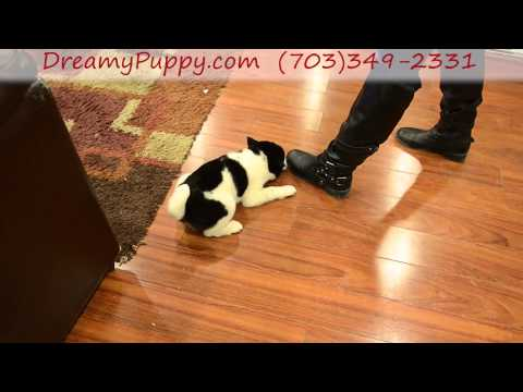 Gorgeous Shiba Inu Boy Puppy