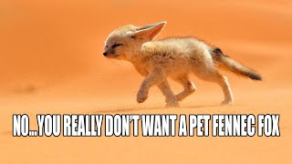 can a fennec fox be a household pet?