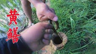 黃鱔這樣抓還真厲害,田坎上就抓了幾大條,小伙高興壞了【農村小野】