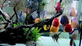 Another Spectacular Video Of Bạch Văn Tín S Gorgeous Discus Tank