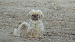 Отважные и деловые маленькие собачки на пляже Степановки Первой. Ми-ми-мишное видео.