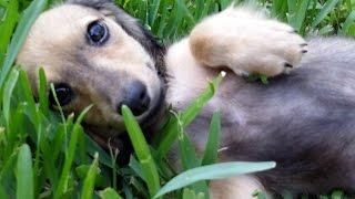 Royalworth's Golden Sheba, An English Cream Longhaired Miniature Dachshund Female Puppy