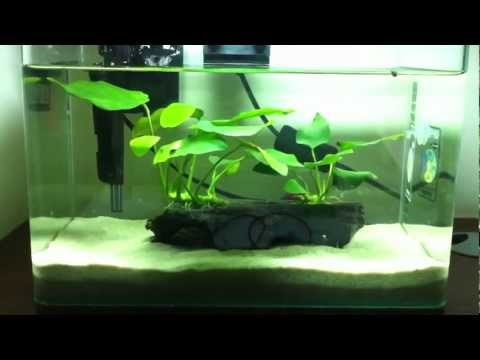 How long can a Delta Tail Male fish live? | Yahoo Answers
