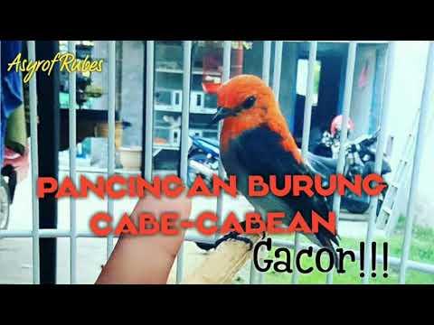 , title : 'Pancingan burung Cabe-cabean biar gacor!!! #kamade'