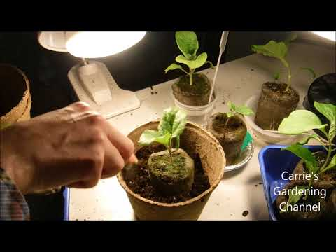 , title : 'how to transplant eggplant seedlings, when to transplant eggplant seedlings