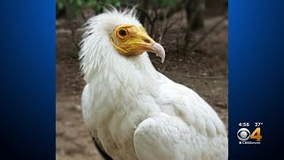 Jones The Endangered Egyptian Vulture Turns 50 At Denver Zoo