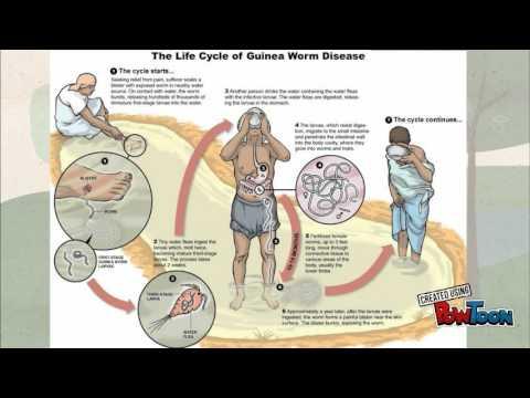 Hogyan kell kezelni a szarvasmarha szalagféreg felnőtteknél