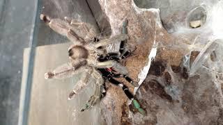 Psalmopoeus reduncus. Разводим пауков птицеедов. Паук дома.