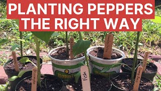 Planting Peppers - Sustainable Gardening 101