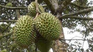 Tin Tức 24h: Giá trái cây tại Đồng bằng sông Cửu Long tăng cao