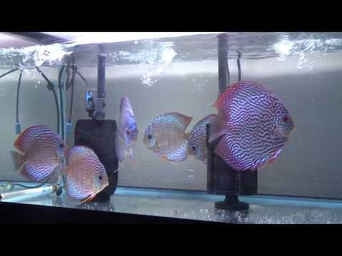 テフェグリーンF4(TEFe Discus Fish)ロートパール混泳水槽(ディスカス小僧)