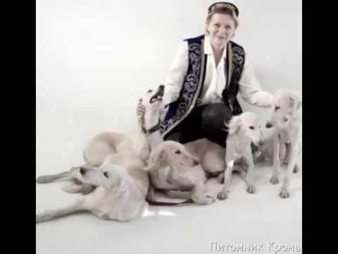 Cалюки щенки от очень красивых родителей. Продам щенков салюки в Санкт-Петербурге, Санкт-Петербург, 03.01.2017