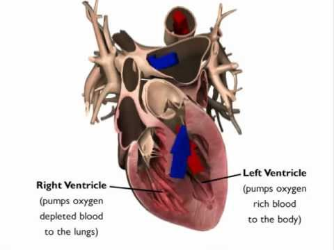 Image of Heart Animation: Heart Anatomy