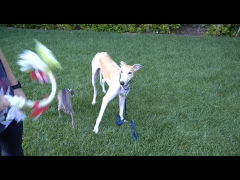 Meet Bunny Our Rescue Greyhound