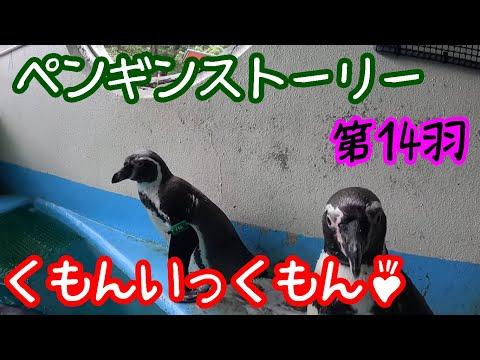 ペンギンストーリー ~第14羽「くもん」~【フンボルトペンギン】
