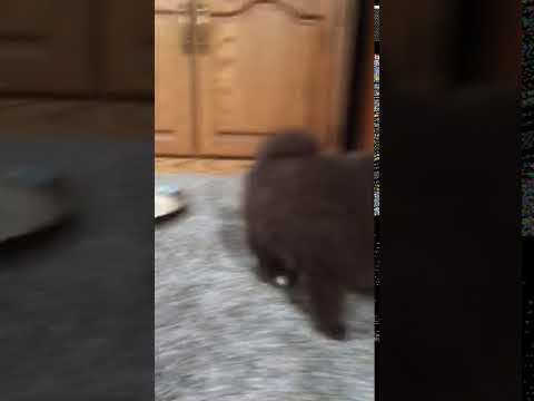 Chocolate brown Pomeranian puppy playing
