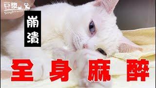 【豆漿 - SoybeanMilk】禁食12小時 吃貨貓咪崩潰了