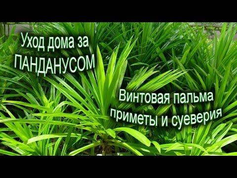 Панданус (винтовая пальма) уход в домашних условиях. Приметы и суеверия об винтовом дереве.