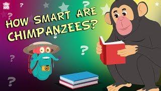 How Smart Are Chimpanzees? - The Dr. Binocs Show | Best Learning Videos For Kids | Peekaboo Kidz