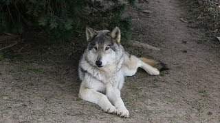 You can adopt these wolfdogs in New Jersey