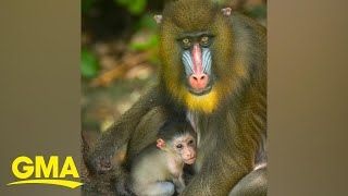 How Disney Parks Are Protecting These Adorable Endangered Mandrills