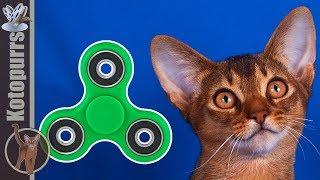 Маленький абиссинский котенок играет со спиннером [kotopurrs]