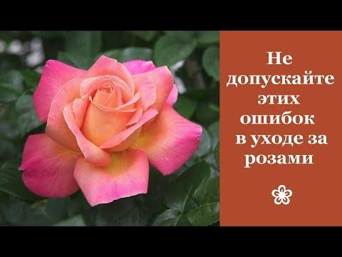 ❀ Не допускайте этих ошибок в уходе за розами. Популярные сорта чайно-гибридных роз