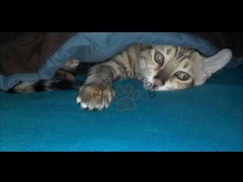 Jag Cat