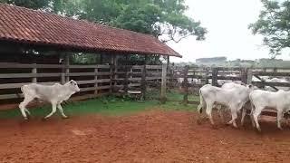 Bovino Corte Nelore Bezerra 6-10@ - e-rural Imagens