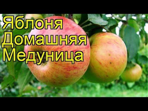 Яблоня домашняя Медуница. Краткий обзор, описание характеристик, где купить саженцы